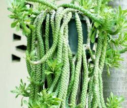 Kakteen Arten Rattenschwanz Kaktus