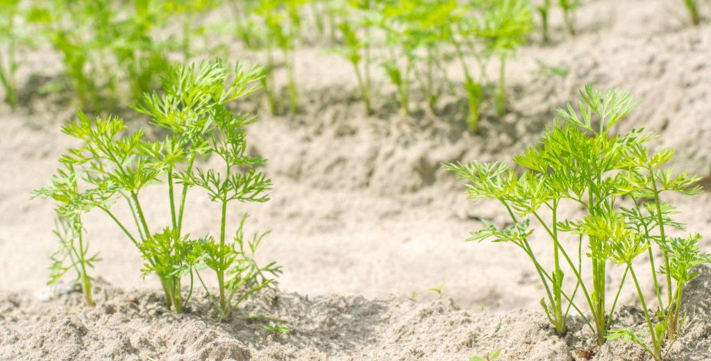 Karotten Jungpflanzen Grün Erde