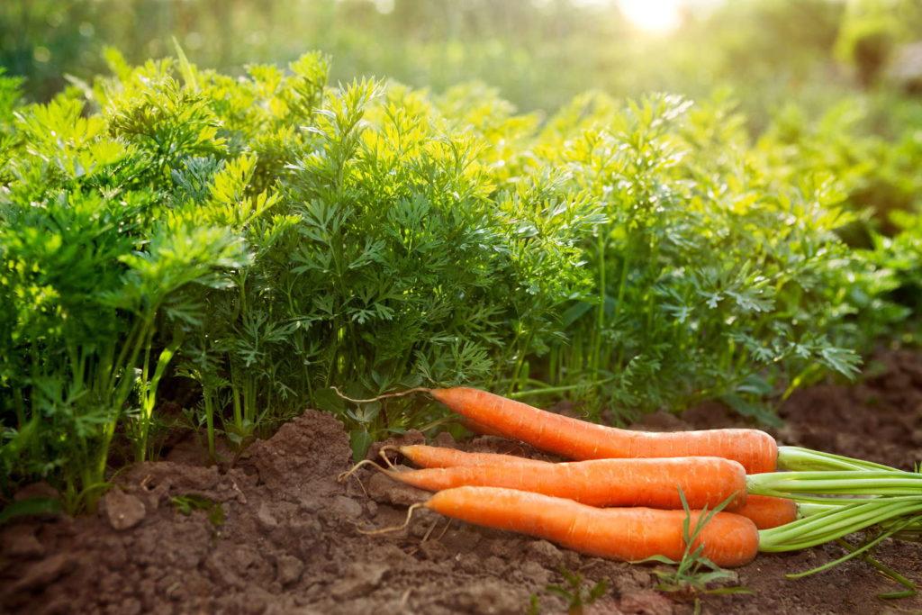 Karotten geerntet auf Erde anbauen ernten Boden