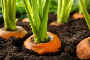 Karotten In Der Erde Wachsen Anbauen
