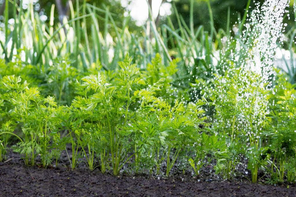 Karottenpflanzen wässern Beet Garten gießen