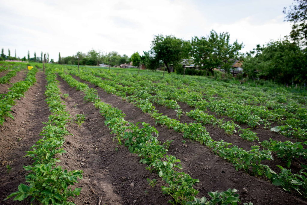 Kartoffelfeld grüne Kartoffelpflanze