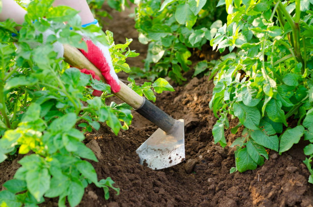 Kartoffeln anbauen Erde anhäufeln mit Schaufel im Garten