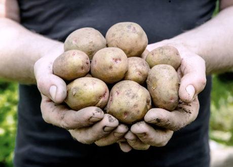 Kartoffeln Ernte In Händen Mit Erde