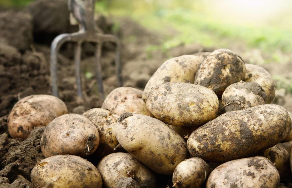 Kartoffeln mit Erde Ernte  im Feld Mistgabel