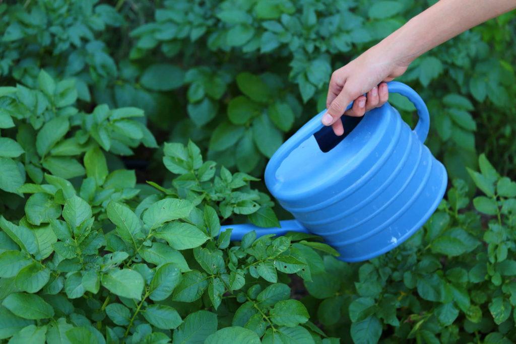 Kartoffelpflanze gießen mit blauer Gießkanne