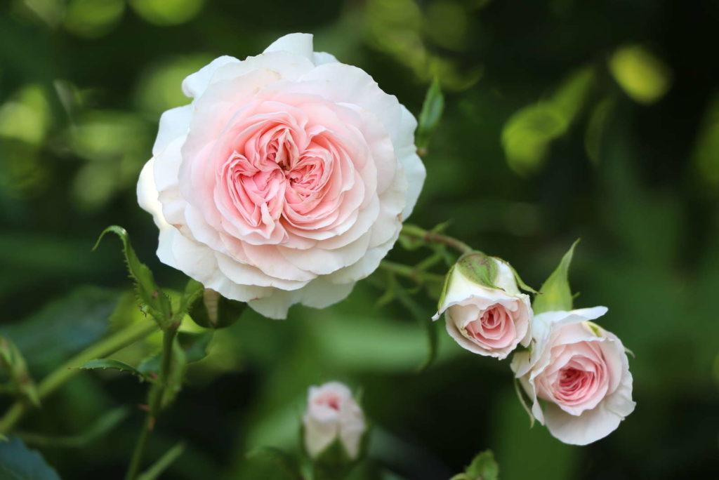 Larissa Rose selbstreinigend blüten