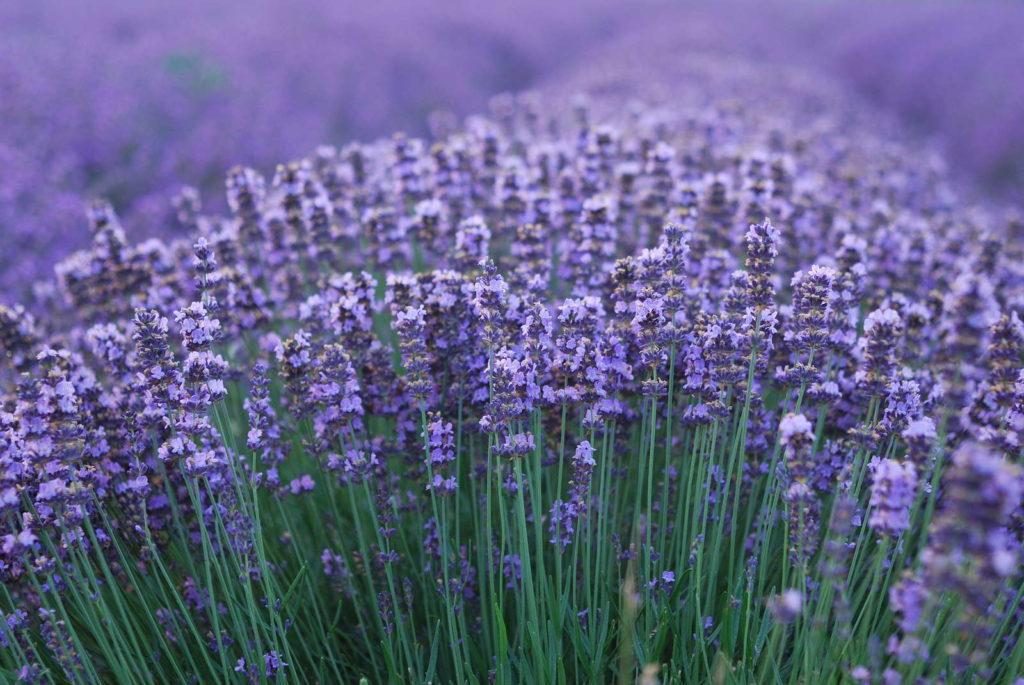Lavendel Busch aromatisch ätherische Öle