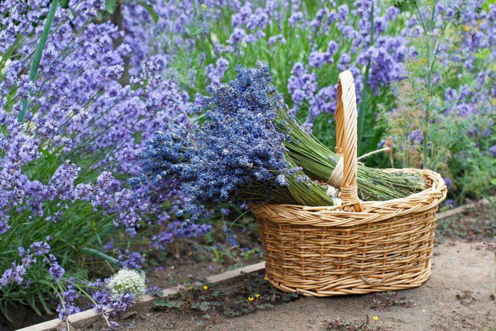 Lavendel im Korb in Garten
