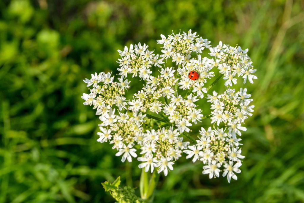Mädesüß Heilpflanze Heilkraut Marienkäfer auf weißen Blüten