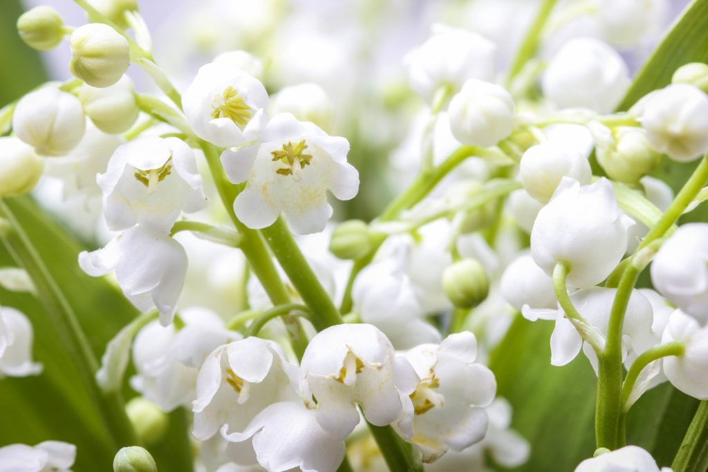 Maiglöckchen Blüten nah
