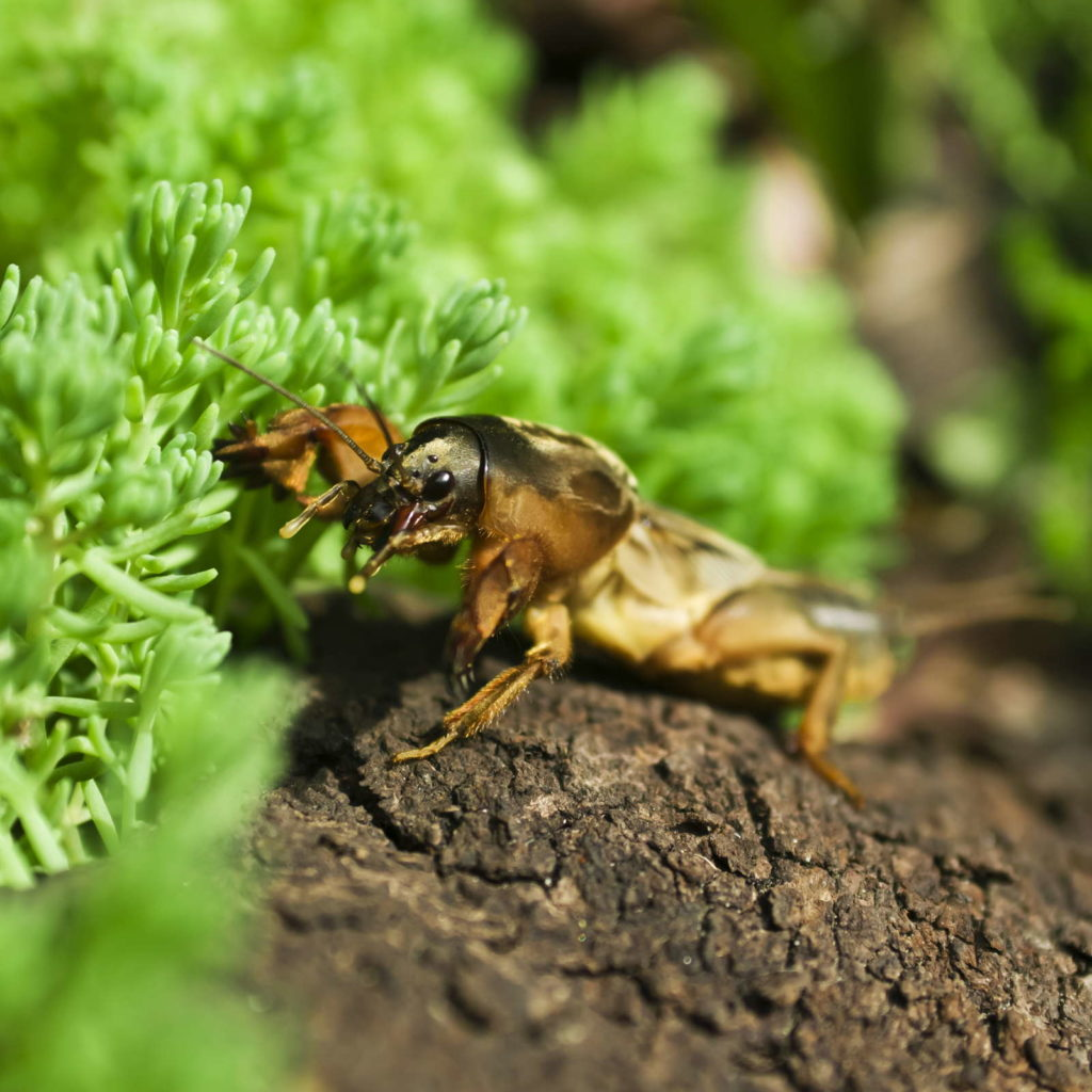 Maulwurfsgrille im Garten bei Pflanze