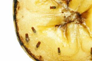 Obstfliegen Auf Banane Schädlinge