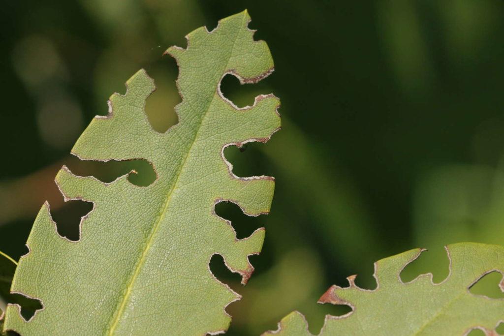 Rüsselkäfer Blattfraß Dickmaulrüssler Schädling angefressene Blätter