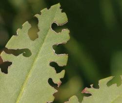 Rüsselkäfer Blattfraß