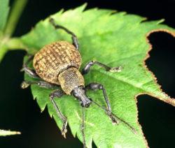 Rüsselkäfer Otiorhynchus Auf Rosenblatt Gefurchter Dickmalurüssler
