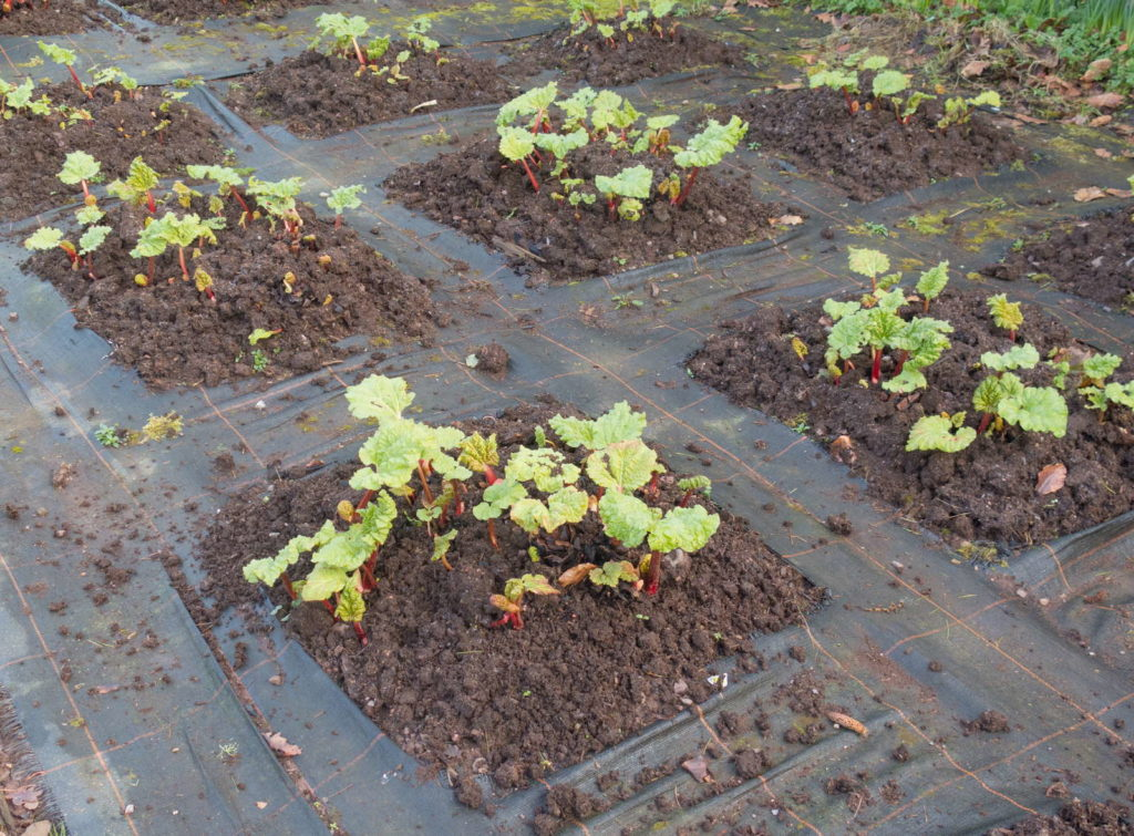 Rhabarber im Beet Pflanze Jungpflanzen