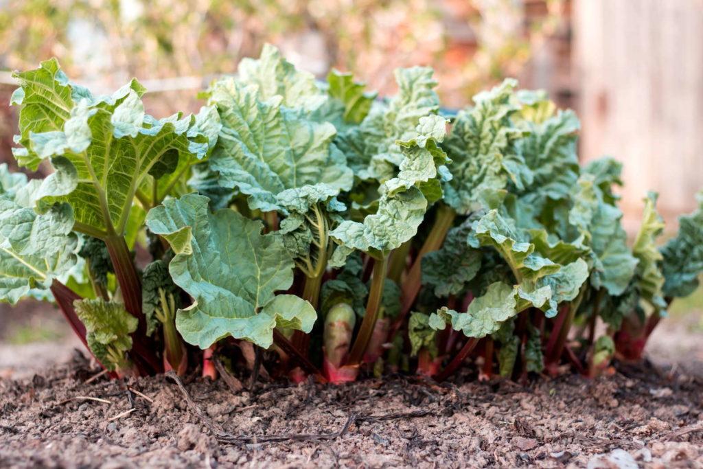 Rhabarberpflanze im Garten umpflanzen