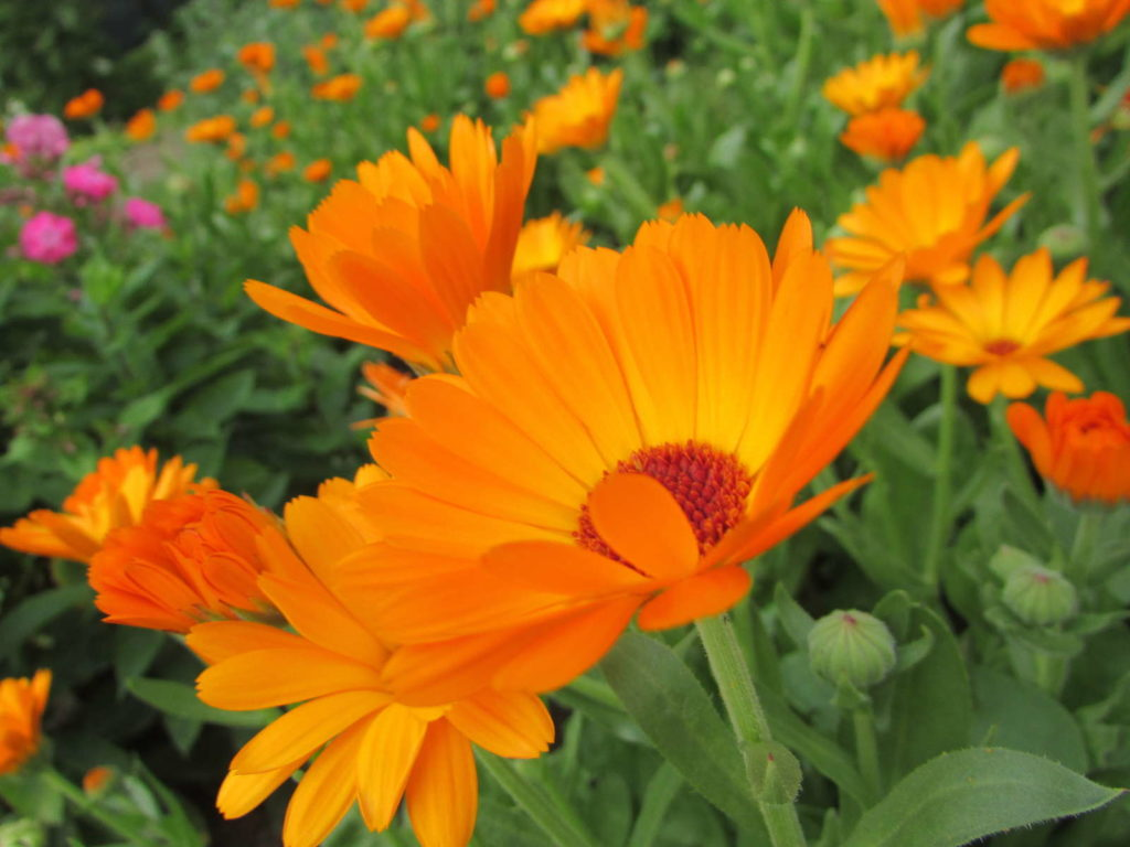 Ringelblume Calendula Heilpflanze Orange Blüte