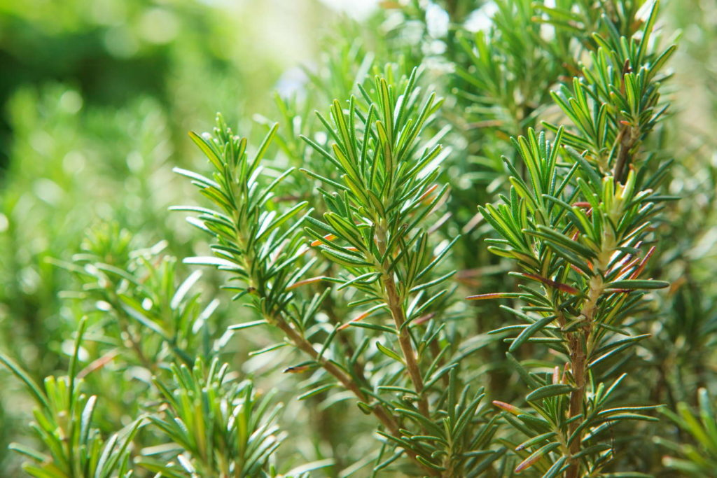 Rosmarin garten Pflanze
