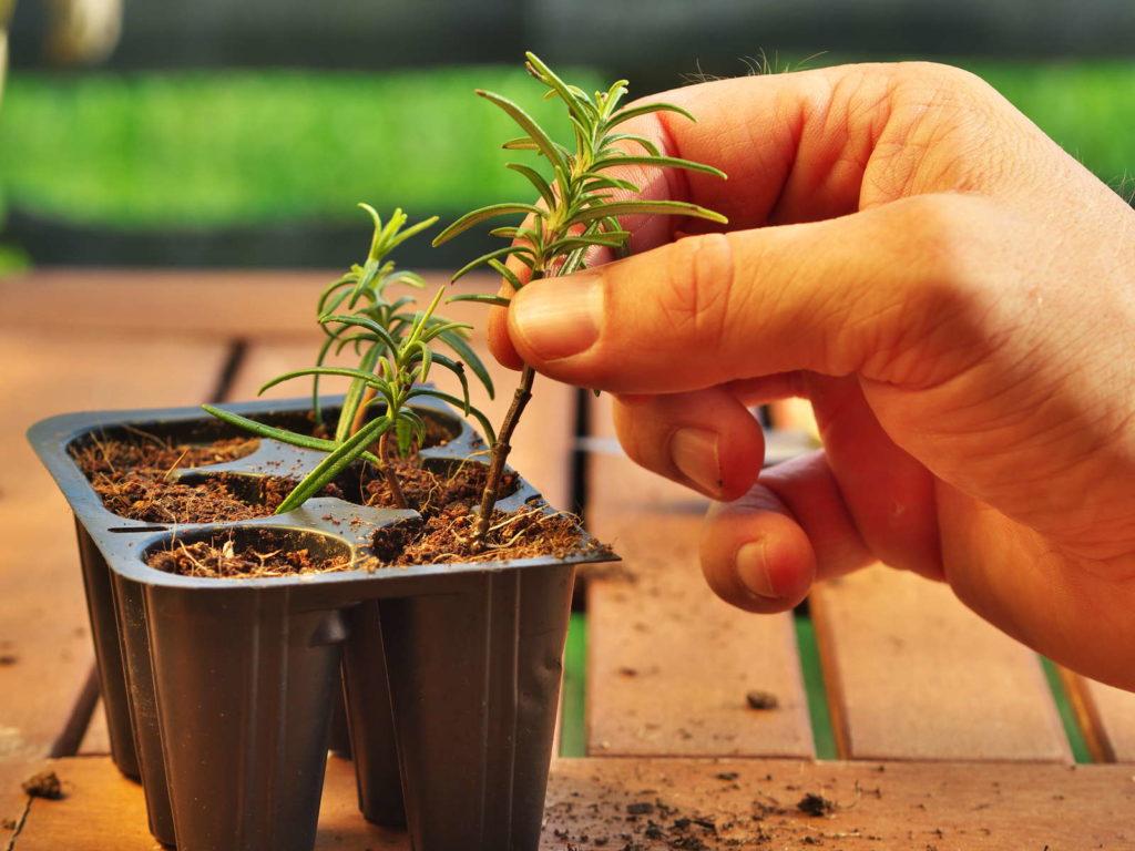 Rosmarin Steckling einpflanzen Topf