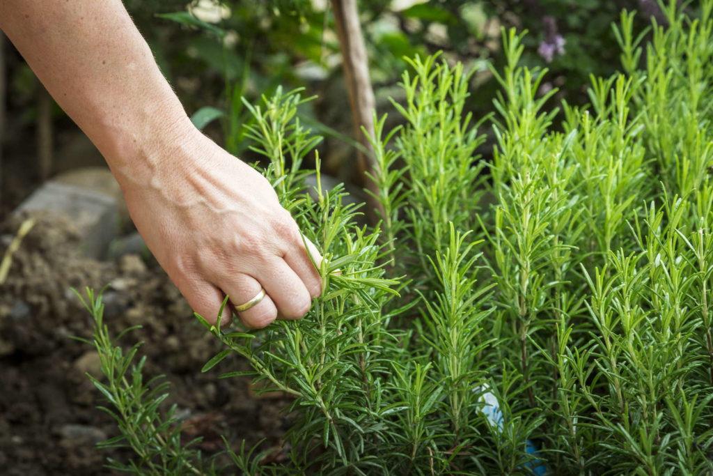 Rosmarin frisch pflücken Hand Beet Garten Küchenkräuter