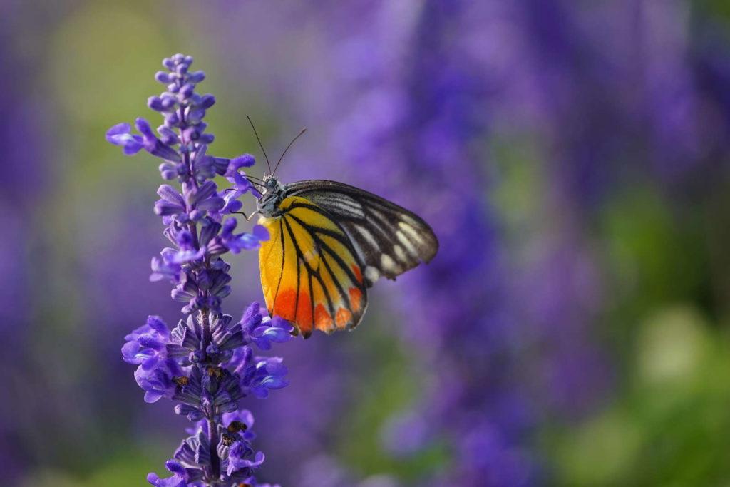 Schmetterling auf Lavendel garten