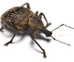 Schwarzer Rüsselkäfer