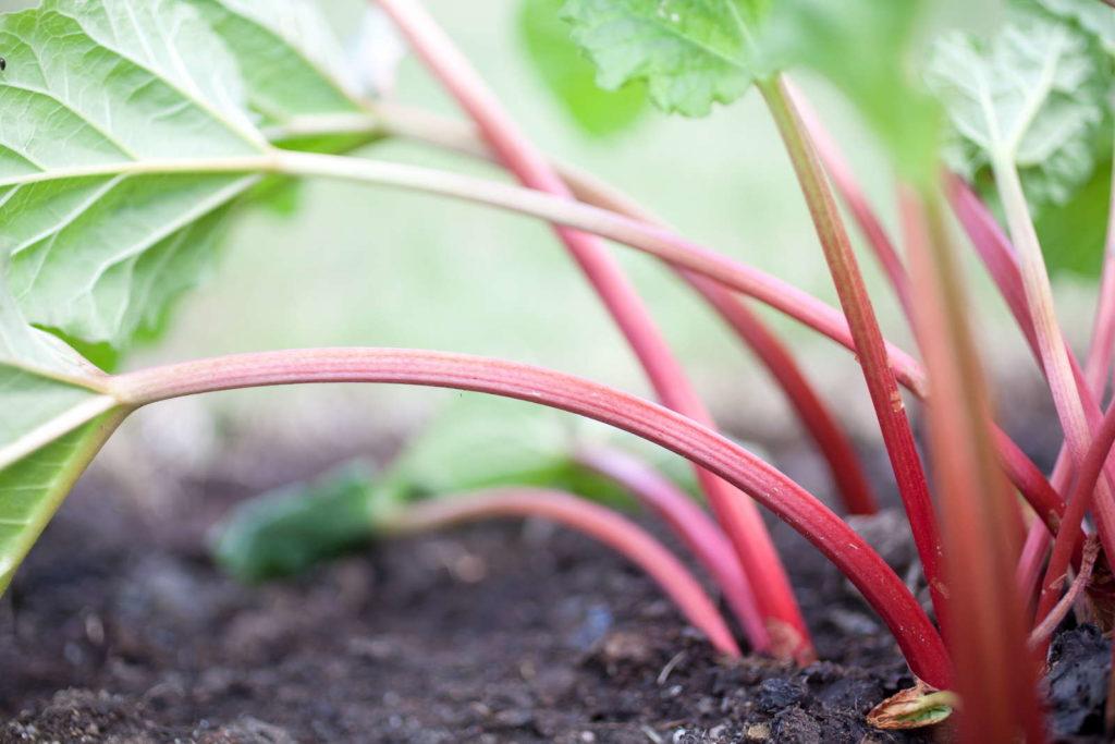 Stengel Rhabarberpflanze Boden Standort