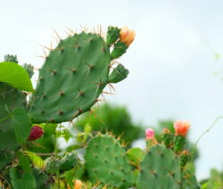 Sukkulenten Kaktus Opuntia Orange Blüten