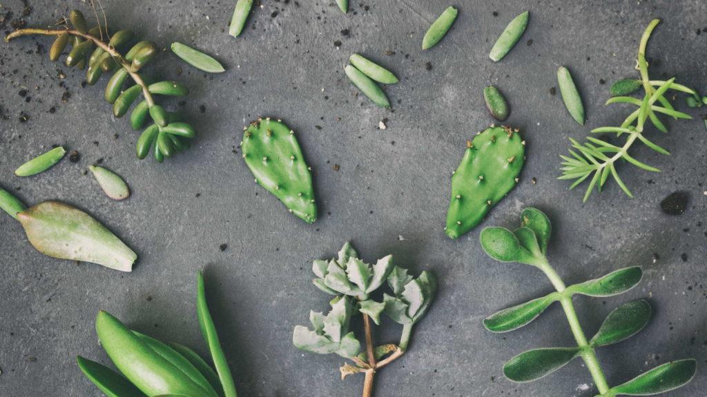 Sukkulenten Kaktus Stecklinge