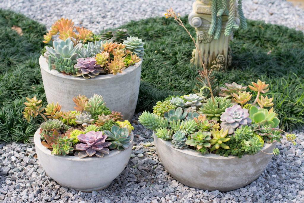 Sukkulenten in Steintöpfen im Garten