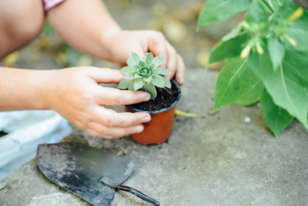 Sukkulenten umtopfen Stecklinge Ableger vermehren Hände topfen um