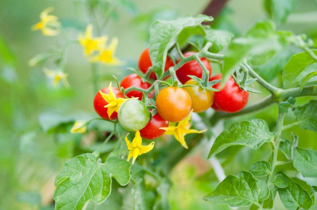 Tomatenpflanze reif unreif Tomaten gelbe Blüte Tomaten düngen