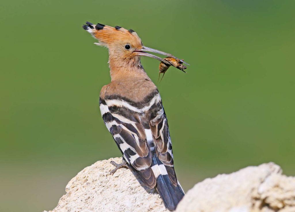 Vogel frisst Maulwurfsgrille