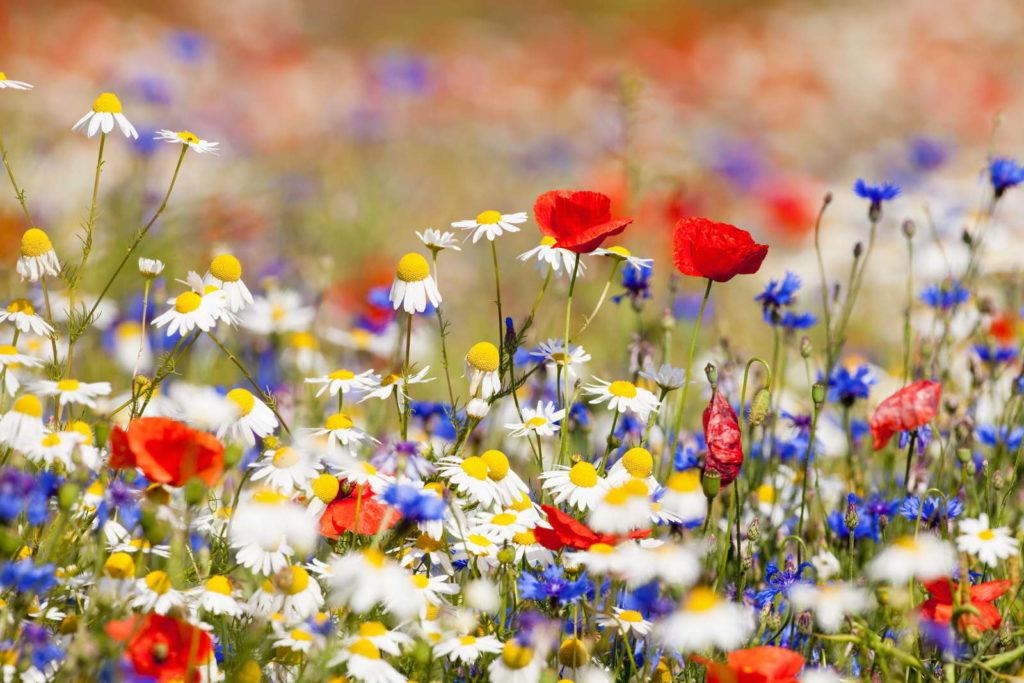 Wildblumen Blumenwiese Mohn Kamille Kornblumen