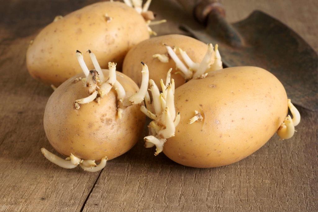 austreibende Kartoffeln auf Holz mit Schaufel