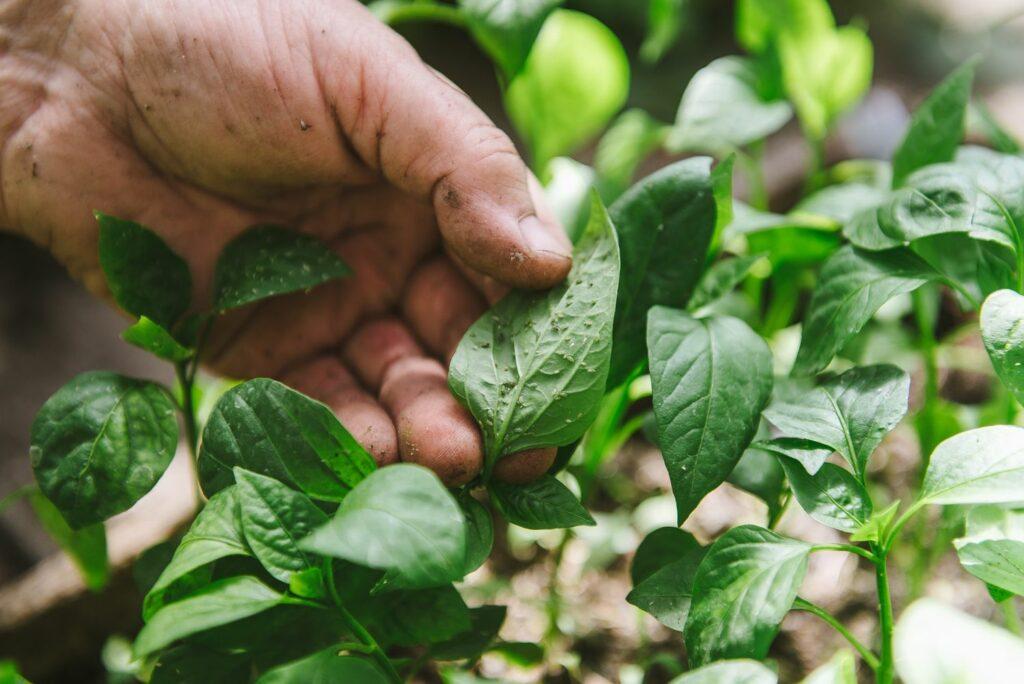 Entfernen von Blattläusen mit Hand