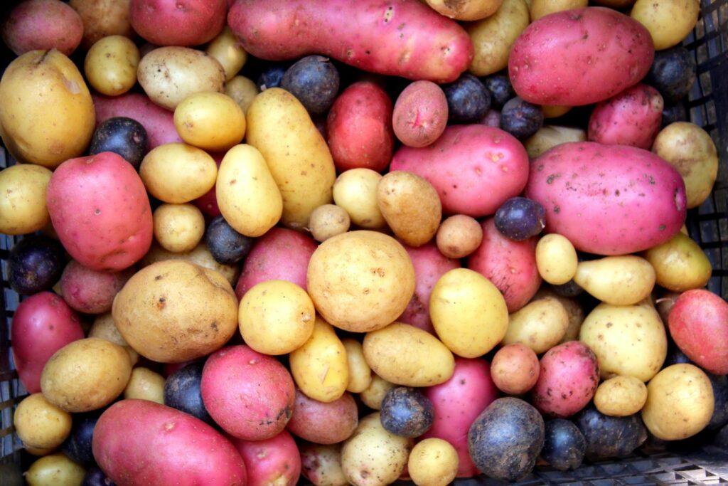 bunte Kartoffelsorten