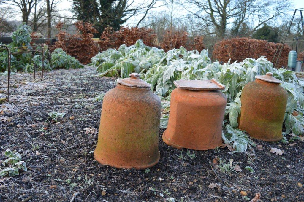 Rhabarbei mit Tontöpfen als Frostschutz zum Überwintern