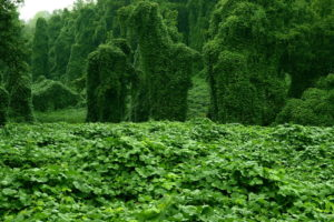 Schnell Wachsende Pflanze Kudzu
