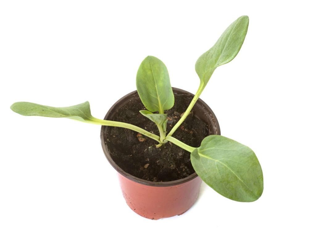 Austernpflanze Jungpflanze im Topf weißer Hintergrund