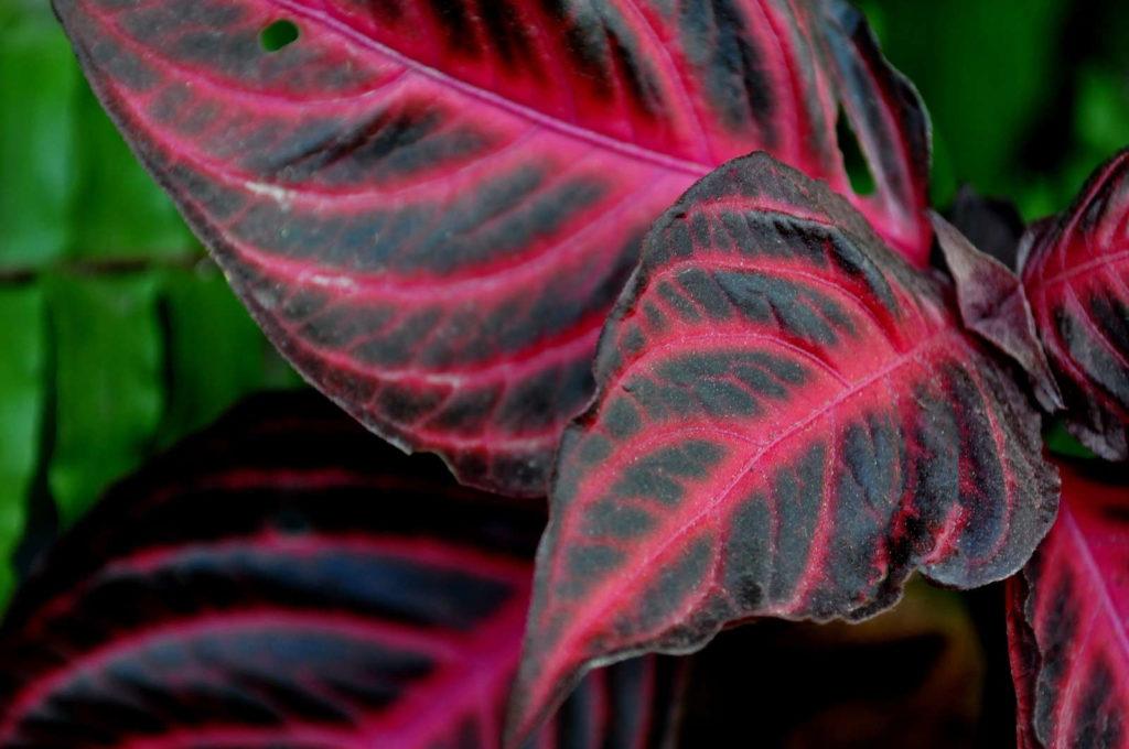 Buntnessel Blätter