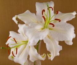 Casablanca Weiße Lilie