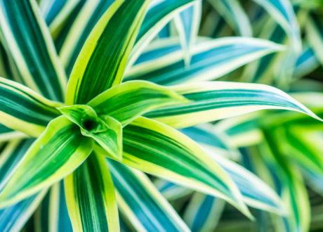 Dracaena Deremensis Nah Grüne Bläter