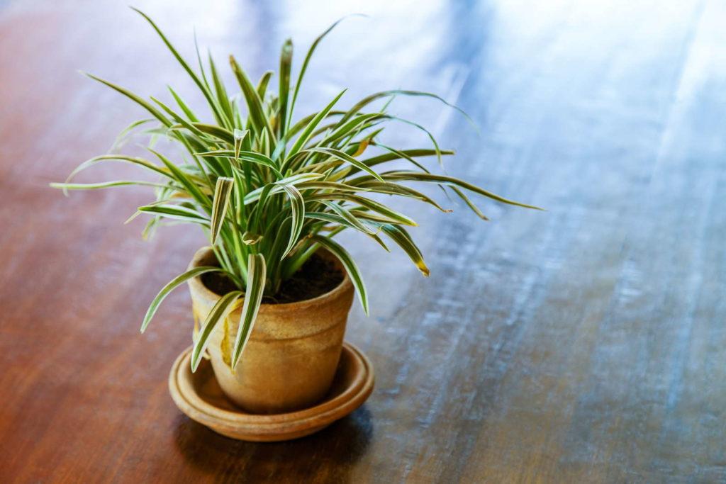 Dracaena fragrans auf Holztisch