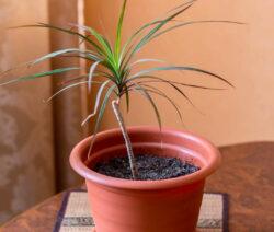 Dracaena Marginata Jungpflanze
