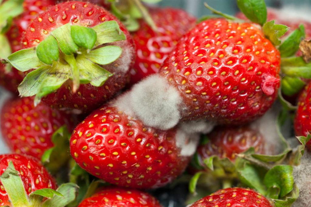 Erdbeeren verschimmelt