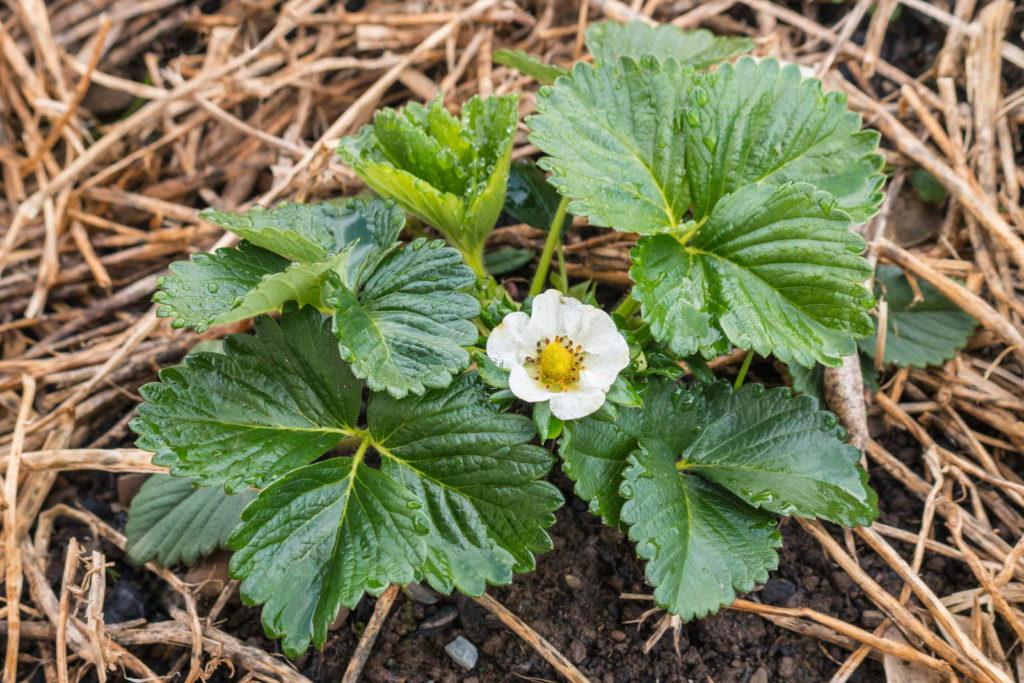 Erdbeerpflanze mit Stroh bedeckt