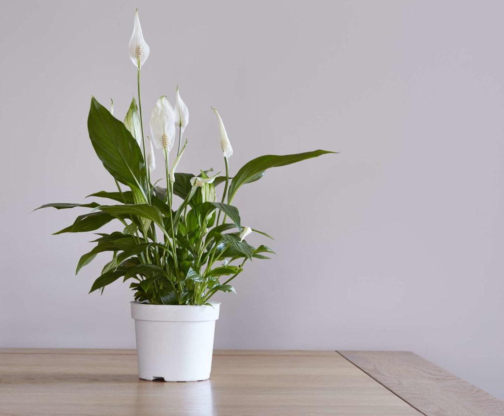 Friedenslilie mit weißer Blüte auf Tisch vor weißem Hintergrund zum Reinigen von Luft
